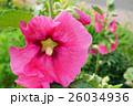 花 立葵 ホリホックの写真 26034936