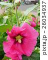 花 立葵 ホリホックの写真 26034937