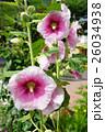 花 立葵 ホリホックの写真 26034938