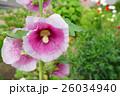 花 立葵 ホリホックの写真 26034940