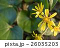 黄色い花と丸い葉 26035203