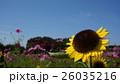sunflower 26035216