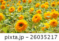 sunflower 26035217