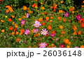 cosmos 26036148