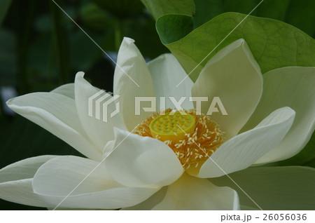 蓮の花(白) 26056036