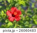 ハイビスカス 赤い花 26060483