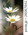 Two daisies on natural background 26067642