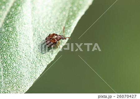 生き物 昆虫 アズキマメゾウムシ、三ミリほどのかわいいゾウムシ。ですが小豆を穴だらけにする大害虫 26070427