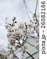 桜 さくら サクラの写真 26082166