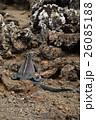 海イグアナ イグアナ 動物の写真 26085188