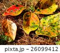 柿の落葉 26099412