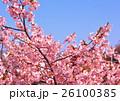 美しいピンク色の河津桜 26100385