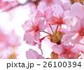 美しいピンク色の河津桜 26100394