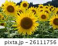 ひまわり畑 26111756