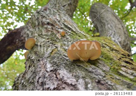 桜の木に生えたムキタケ 26113483
