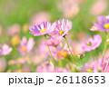 秋の花コスモス。 26118653