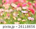 秋の花コスモス。 26118656