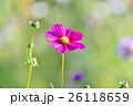 秋の花コスモス。 26118659