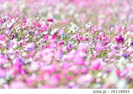 秋の花コスモス。 26118665