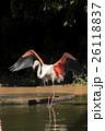 フラミンゴ 水鳥 多摩動物公園の写真 26118837