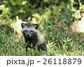 タヌキ 26118879