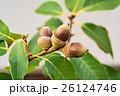 シラカシ団栗 26124746