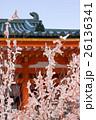 平安神宮、青空に伸びる満開の桜のような結び木の桜みくじ 26136341