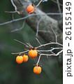 柿 果実 カキノキ科の写真 26155149