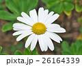 植物 花 浜菊の写真 26164339