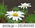 植物 花 浜菊の写真 26164340