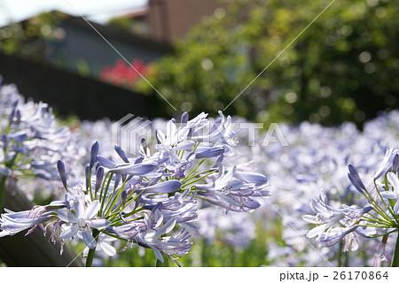アガパンタスの花畑