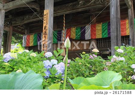 お寺に咲く紫陽花と蓮 26171588