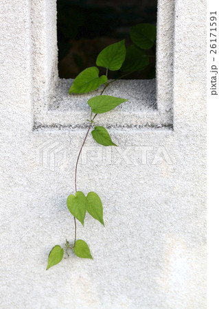 塀から伸びる緑 26171591
