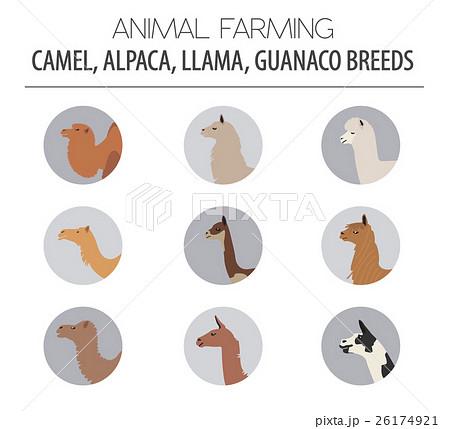 Camel, llama, guanaco, alpaca breeds icon set. 26174921