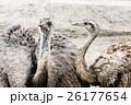 エミュー 鳥 つがいの写真 26177654
