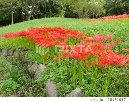 満開の彼岸花の群生(兵庫県立有馬富士公園) 26181037