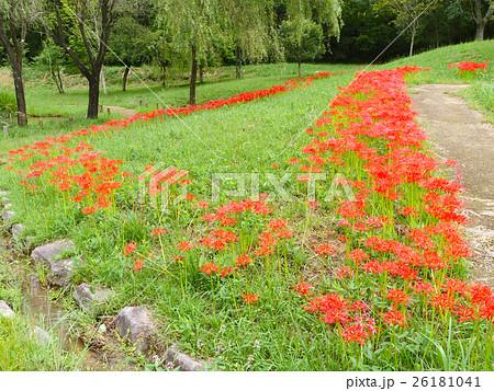 満開の彼岸花の群生(兵庫県立有馬富士公園) 26181041