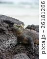 海イグアナ イグアナ 爬虫類の写真 26181266
