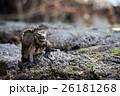 海イグアナ イグアナ 爬虫類の写真 26181268