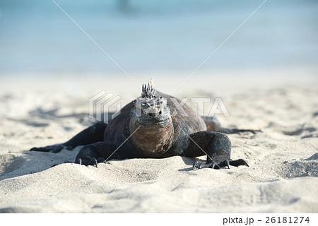 海イグアナの生態 26181274