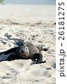 海イグアナ イグアナ 爬虫類の写真 26181275