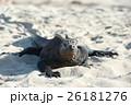 海イグアナの生態 26181276