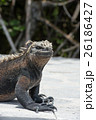 海イグアナ イグアナ 動物の写真 26186427