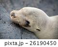 サンクリストバル ガラパゴスアザラシ あざらしの写真 26190450