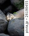 サンクリストバル ガラパゴスアザラシ あざらしの写真 26190455