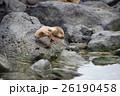 サンクリストバル ガラパゴスアザラシ あざらしの写真 26190458