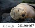 サンクリストバル ガラパゴスアザラシ あざらしの写真 26190467