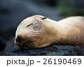 サンクリストバル ガラパゴスアザラシ あざらしの写真 26190469