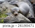 サンクリストバル ガラパゴスアザラシ あざらしの写真 26190471