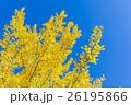銀杏 葉 黄葉の写真 26195866
